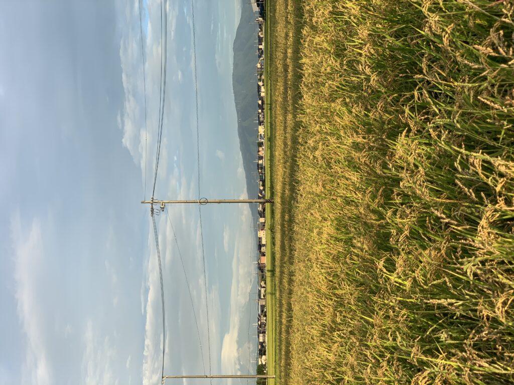多度山を背に収穫前の稲穂=三重県桑名市